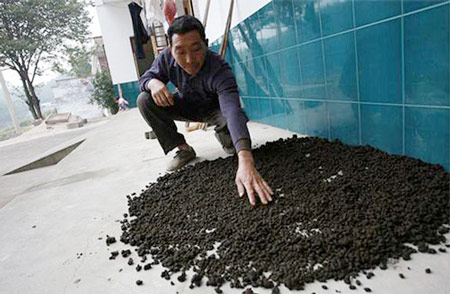 """Người dân Kim Thạch, Trung Quốc phơi phân bò để làm """"thuốc"""" uống"""
