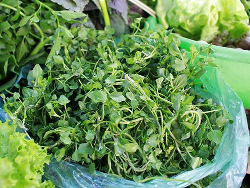 Xà lách xoong là loại rau cải giàu dược tính, có thể dùng để chữa các bệnh về đường hô hấp Ảnh: Hoàng Triều