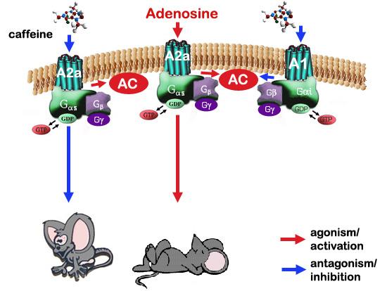 Tác dụng của chất caffeine làm cho chuột tỉnh (trái) và tác dụng của chất adenosine làm cho chuột ngủ (phải)