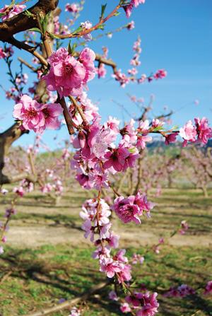 hao đào - vị thuốc mùa xuân
