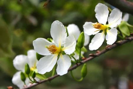 hoa mai trắng chữa bệnh