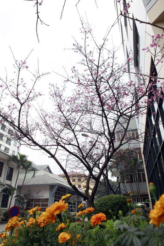 Nhật Bản; công viên; hoa anh đào