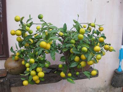 cây cảnh, hoa quả, trưng tết