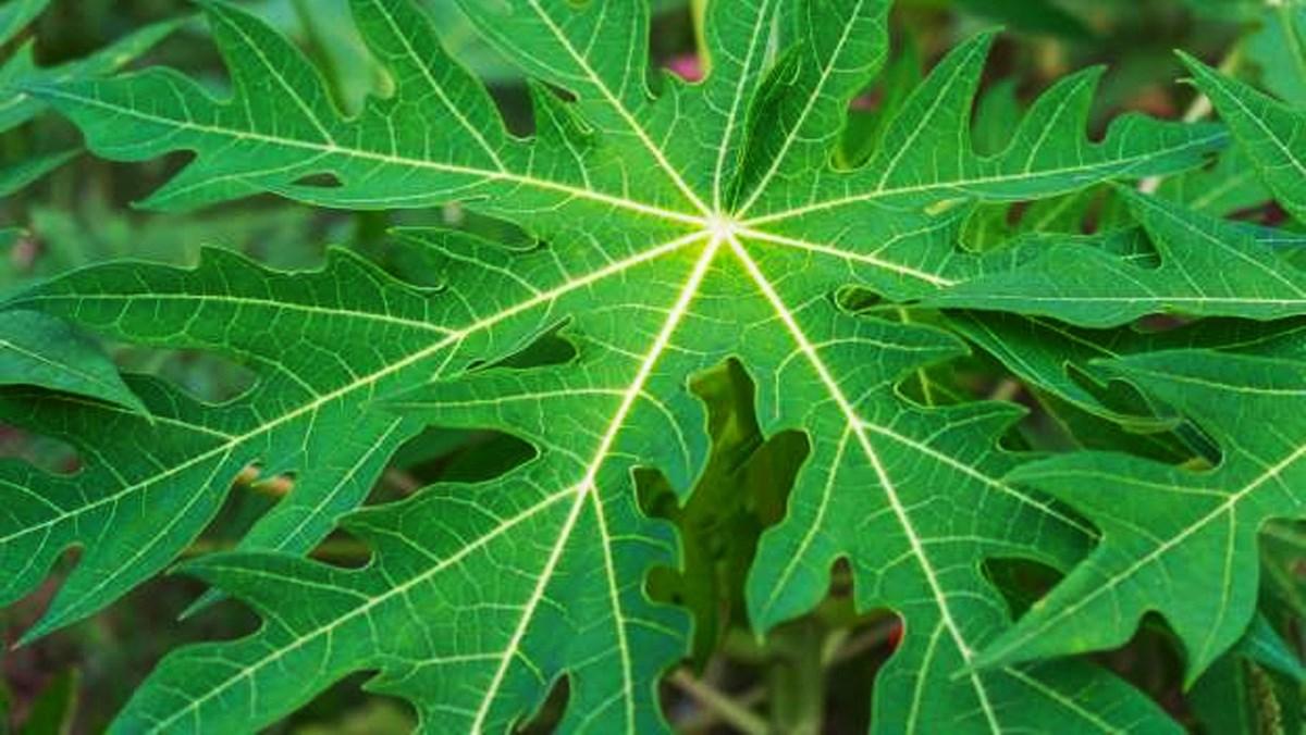 Đu đủ, cách sử dụng các bộ phận từ lá.. tới rễ để làm thuốc - Ảnh 2.
