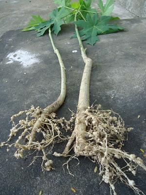 Đu đủ, cách sử dụng các bộ phận từ lá.. tới rễ để làm thuốc - Ảnh 12.