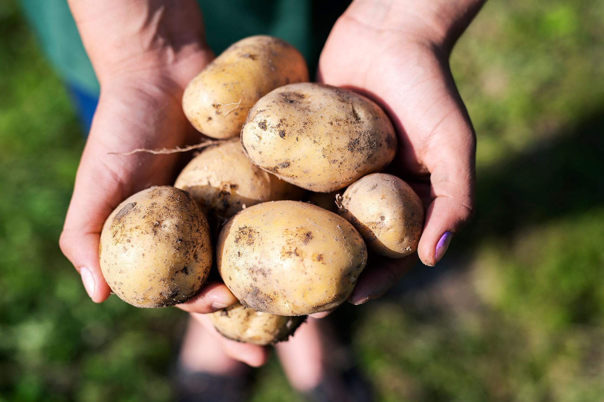 Bột khoai tây làm đẹp mái tóc - Ảnh 3.