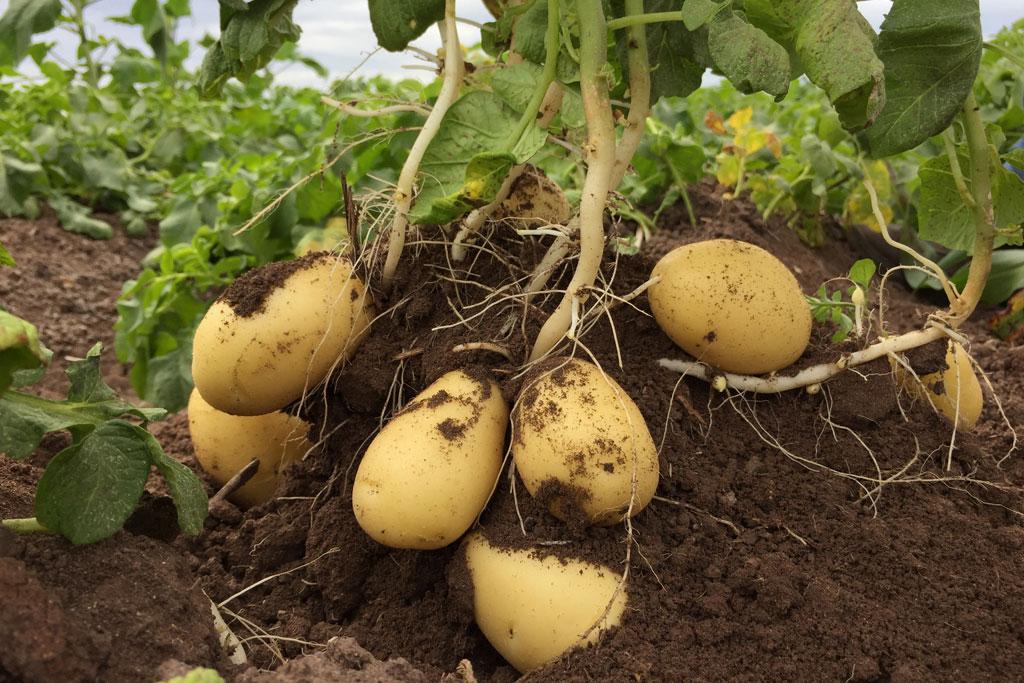 Bột khoai tây làm đẹp mái tóc - Ảnh 4.
