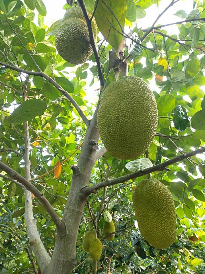 Mít Thái giảm giá vì ngừng xuất khẩu, người trồng khóc vì chỉ đủ tiền phân bón - Ảnh 1.