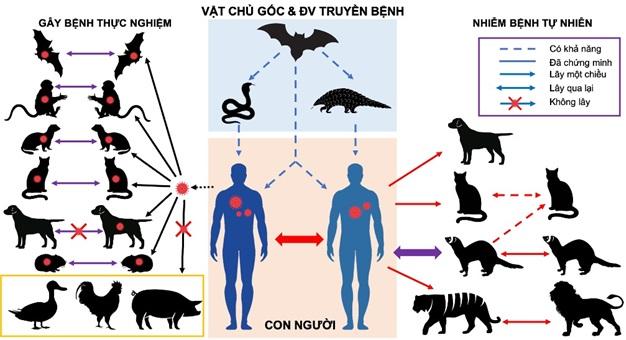 Mối liên hệ và khả năng truyền lây của SARS-CoV-2 giữa người và động vật