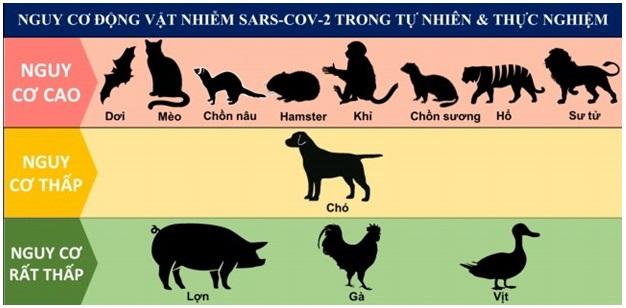 Hình 1: Nguy cơ động vật nhiễm SARS-CoV-2 trong tự nhiên và gây nhiễm thực nghiệm