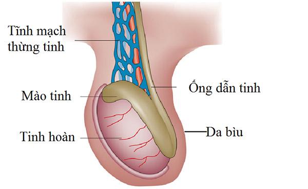 Hình ảnh tĩnh mạch thừng tinh