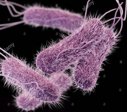 Khuẩn kháng thuốc Salmonella typhi.