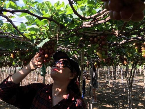 Đến các vườn nho Ninh Thuận được ăn miễn phí và nghe nông dân kể chuyện về cây nho.