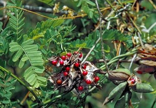 Cam thảo dây là lá và rễ, được dùng thay cam thảo Bắc trong các đơn thuốc.