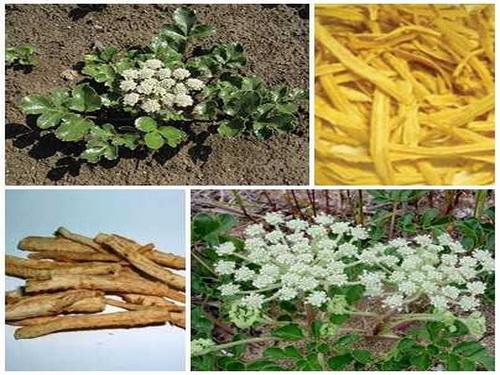 Sa sâm (rễ khô của cây sa sâm) là vị thuốc trị bệnh sởi thời kỳ sởi bay.