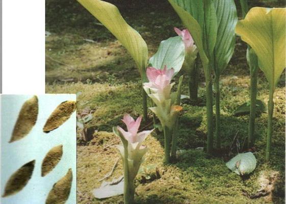 Uất kim là phần rễ phình ra thành củ của cây nghệ vàng.