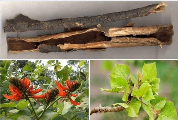 Vỏ cây, lá và hoa của cây vông nem đều là vị thuốc trị nhiều bệnh.