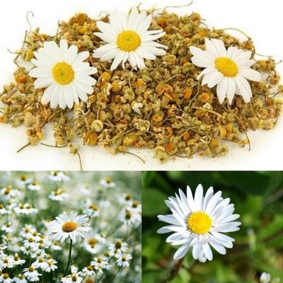 Cúc hoa là vị thuốc trong bài Kỷ cúc địa hoàng hoàn trị đau đầu do thận khí suy thể thận âm hư.