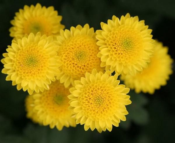 Cúc hoa vàng giúp sáng mắt.