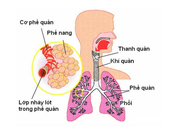 Bệnh ở phế ho có đờm, hoặc ho khan là do phế âm hư.