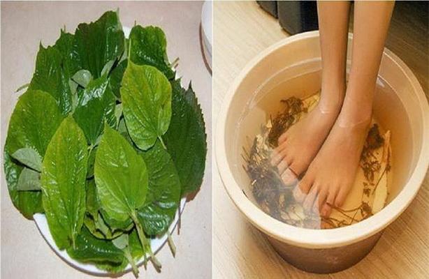 Lá lốt là vị thuốc tốt trị đau lưng, sưng khớp gối, bàn chân tê buốt.