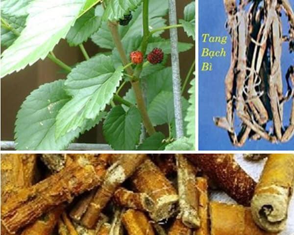 Tang bạch bì (vỏ rễ cây dâu) là vị thuốc trong bài Tả bạch tán trị đàm nhiệt khái thấu.