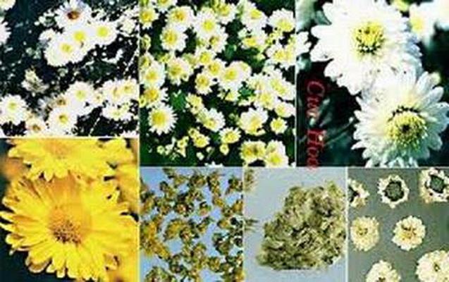 Cúc hoa sơ phong, thanh nhiệt, chống viêm, giải độc.