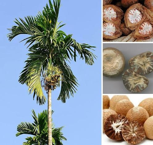 Binh lang (hạt cau khô) hỗ trợ trị đầy trướng bụng, khó tiêu, đau quặn bụng, giun sán, tiêu chảy...
