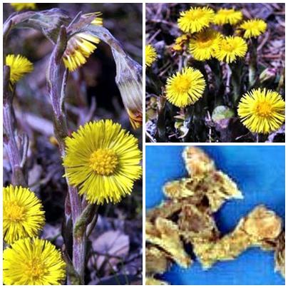 Khoản đông hoa (nụ hoa của cây khoản đông) trị viêm phế quản mạn, hen suyễn, lao phổi…