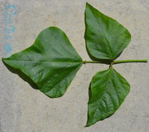 Mỗi cây chữa một bệnh