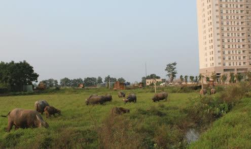 Chăn trâu kiếm hàng trăm triệu đồng giữa Hà Nội 1