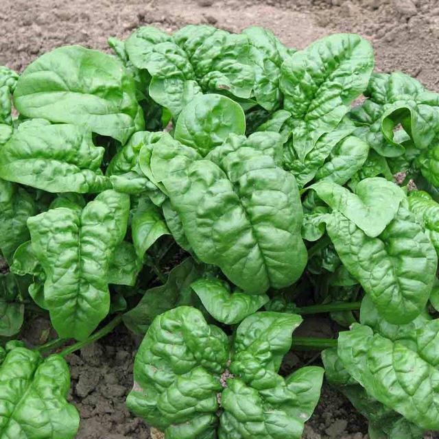 Lá cải bó xôi màu xanh đậm, kích thước cỡ chân vịt
