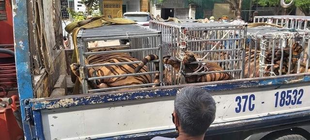 Nghệ An bắt giữ 17 cá thể hổ nuôi nhốt trái phép trong nhà dân - Ảnh 2.