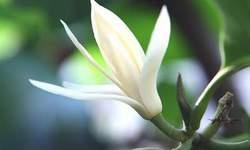 Chữa ho bằng hoa ngọc lan