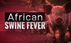 Virus tả lợn châu Phi có lan truyền qua trung gian bọ ve, ruồi muỗi?