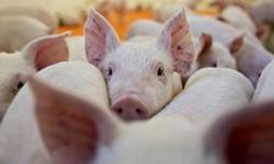 Quảng Bình: Dịch tả lợn châu Phi bùng phát trở lại