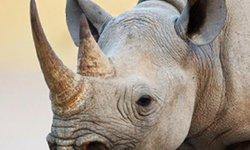 """Sừng tê giác – Niềm tin """"chết chóc"""""""