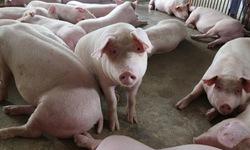 Từ 12/6: Nhập khẩu lợn sống