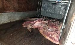 Bắt giữ gần 1 tấn lợn mắc dịch tả lợn châu Phi