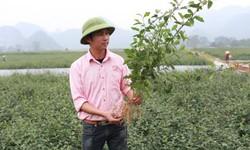Thế nào là một vùng trồng cà gai leo theo tiêu chuẩn quốc tế?