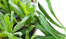Rau mùi tàu- vị thuốc tốt trị các chứng bệnh thông thường