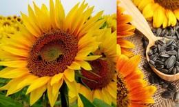 Cây hoa hướng dương trị sốt, tăng huyết áp