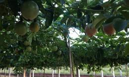 Chanh dây Gia Lai đang được giá, giúp nông dân thắng lớn