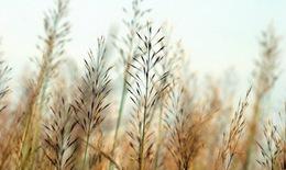 Rễ cỏ may trị bệnh gan