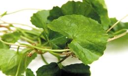 Dùng rau má với liều lượng như thế nào cho đúng?