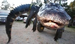 Bắt cá sấu khổng lồ nặng gần nửa tấn