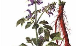 Đan sâm – Vị thuốc quý cho người bệnh tim mạch