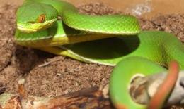Hương Thủy: Nhiều người nhập viện do rắn lục đuôi đỏ cắn