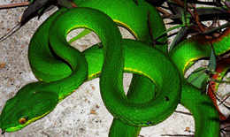 Giao BV Bạch Mai tư vấn cấp cứu điều trị các ca rắn lục đuôi đỏ cắn