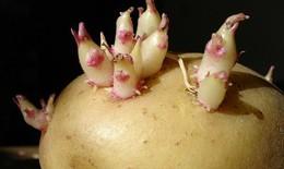 Khoai tây mọc mầm rất dễ gây ngộ độc